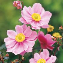Anemone Plant - Serenade
