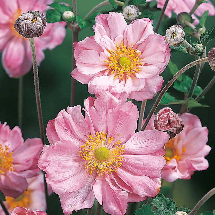 Anemone Plant - Queen Charlotte