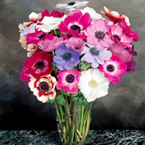 Anemone Seeds - Mona Lisa Mix