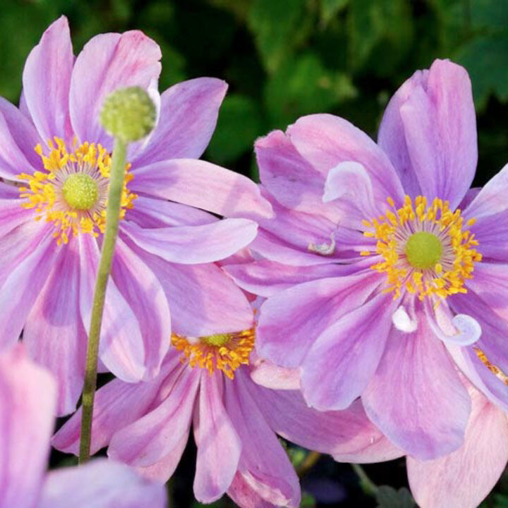 Anemone Pretty Lady Emily 2Ltr All Perennial Plants Perennial