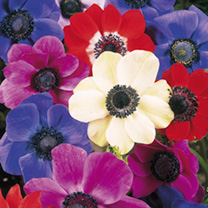 Anemone Bulbs - de Caen Mix