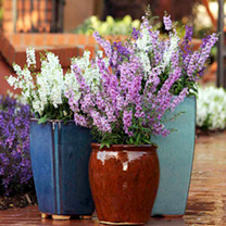 Angelonia Plant - Serena Mixed