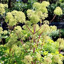 Angelica Seeds - Taiwaniana