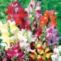 Antirrhinum Chuckles Seeds - Snapdragon 102429