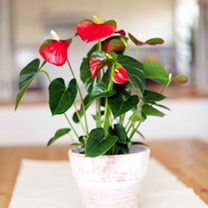 Anthurium Plant Red