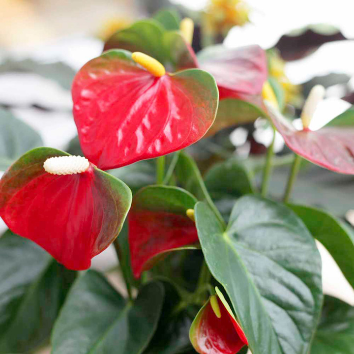 Plants & Plant Care Houseplant - Anthurium Baby Boomer Red
