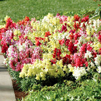 Antirrhinum Plants F1 Kim Mix