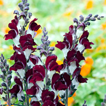Tall spikes covered in rich, dark crimson flowers each contrasted by a clear white base. Ideal as a central feature in ornamental beds, or at the back