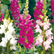 Antirrhinum Seeds - Pretty Arrow Mix