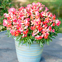 Antirrhinum Plants - Antiquity Orange & White