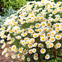 Anthemis Plant - Sauce Hollandaise
