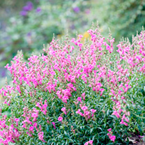 Antirrhinum Plant - Pretty in Pink