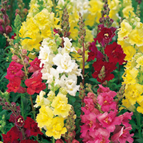 Strong stems massed with double florets resembling azaleas. Flowers June-October. Tall variety. Height 90cm (3'). HHP Half hardy perennial (best grown