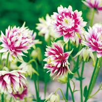 Aquilegia Plant - Nora Barlow