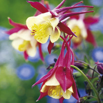 Aquilegia Plants - Crimson Star