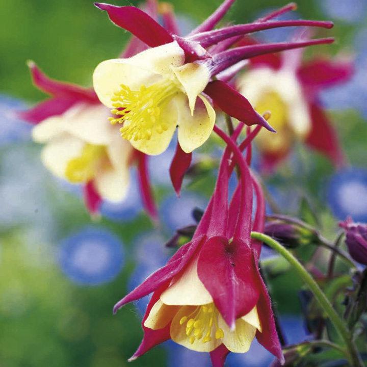 Aquilegia Plant - Crimson Star