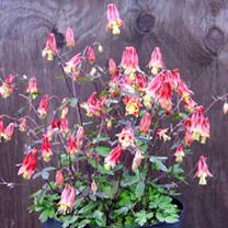 Aquilegia Seeds - Rhubarb and Custard