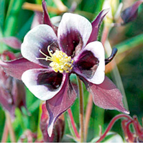 Aquilegia Plant - William Guinness