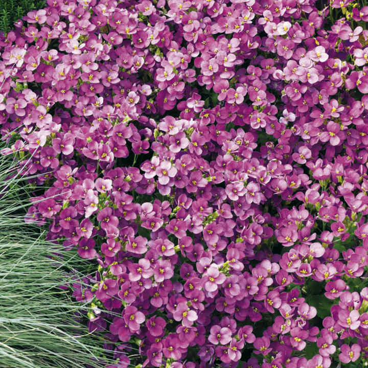Arabis Plants - Little Treasure