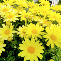 Marguerite Plant - Yellow