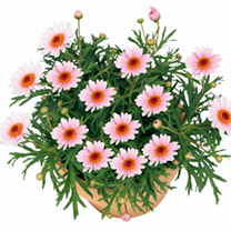 Argyranthemum Plants - Pretty Daisies Collection