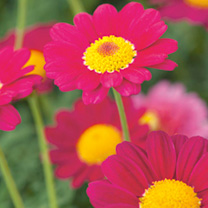 Argyranthemum Plant - Starlight Red