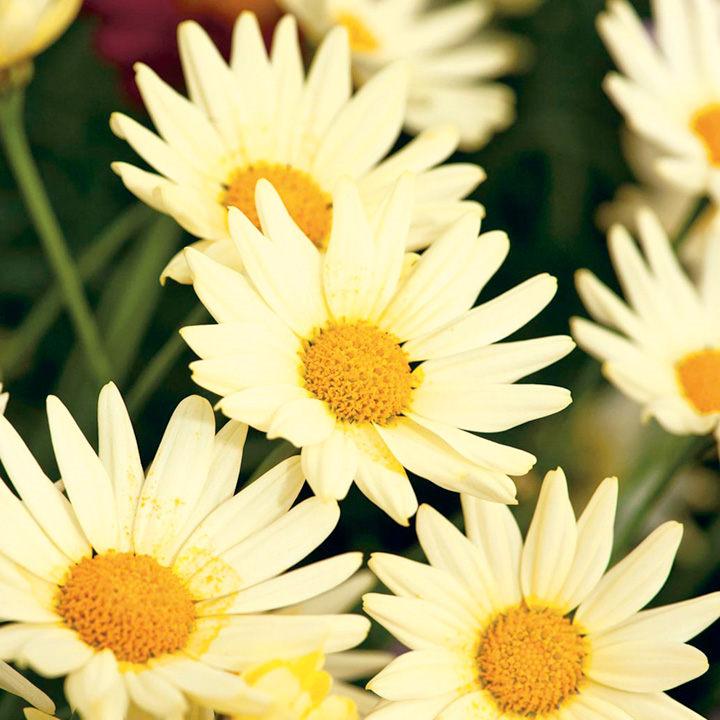 Marguerite Plant - Summit Yellow