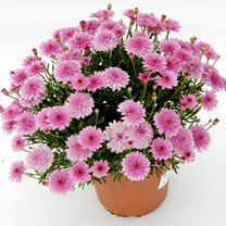 Argyranthemum Plant - Summersong Rose