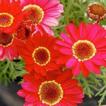Argyranthemum Plant - Grandaisy Red