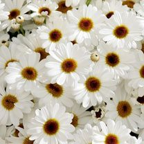 Marguerite Plant - Grandaisy White