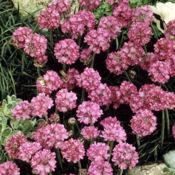 Armeria maritima Seeds - Sea Pink