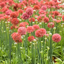 Compact and uniform with grass-like foliage, these plants have strong stems topped with globe-shaped red blooms. Very free-flowering, first year bloom