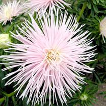 Aster Seeds - Starlight Light Pink