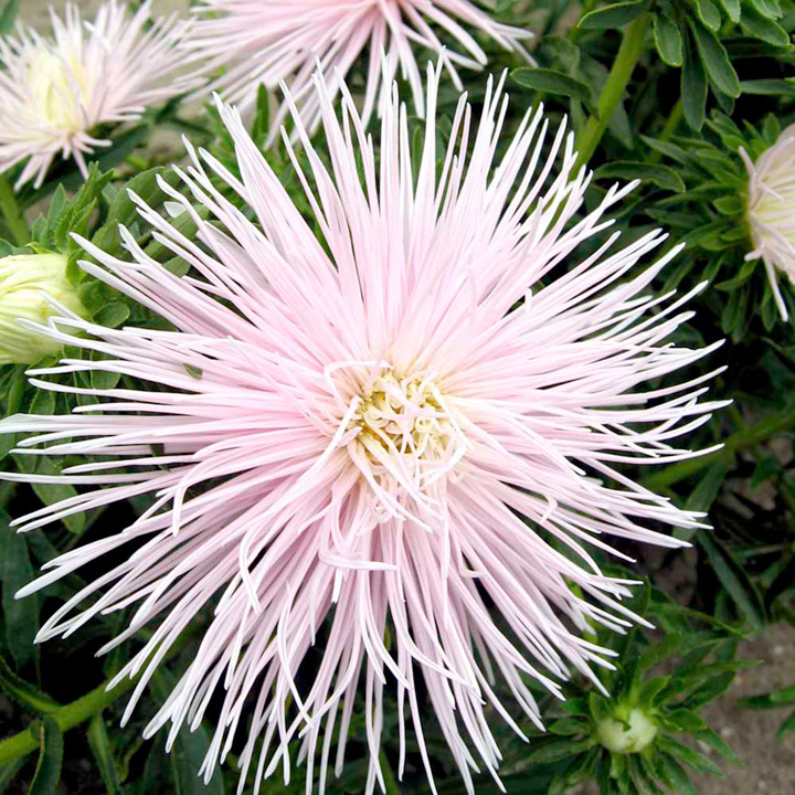 Aster Seeds - Starlight Light Pink