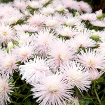 Compact, bushy, vigorous plants boasting large double heads of fine, quilled petals in a lovely powder pink colour. Deep green foliage. Flowers July-O