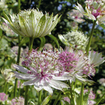 Astrantia Plant - Florence