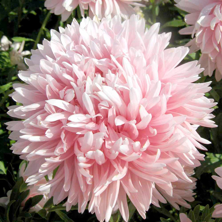 Aster Seeds - Lady Penelope