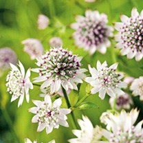 Astrantia Plant - Star of Billion