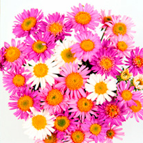 Aster Plants - Beauty Mix