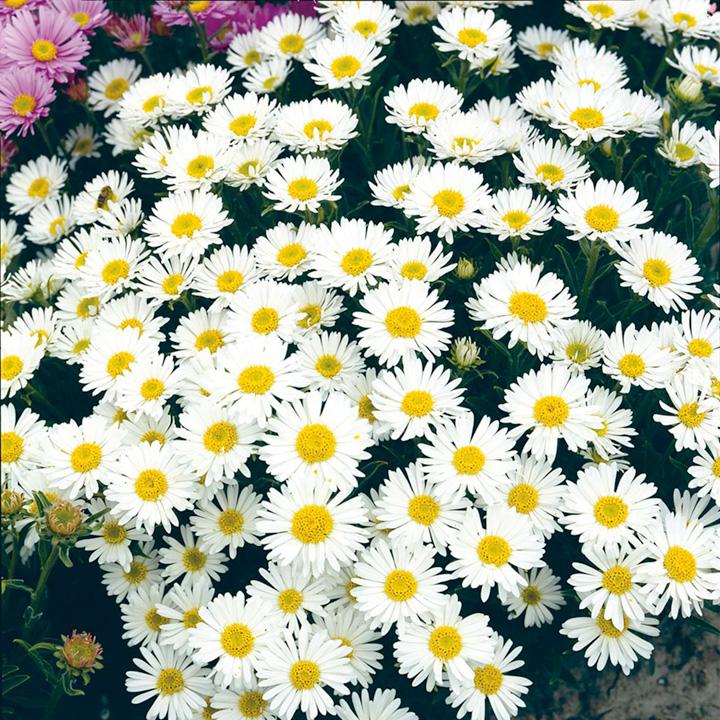Aster alpinus Plant - White