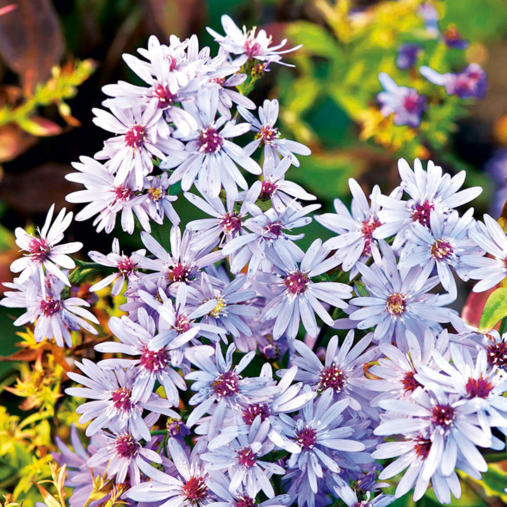 Aster Plant - Little Carlow