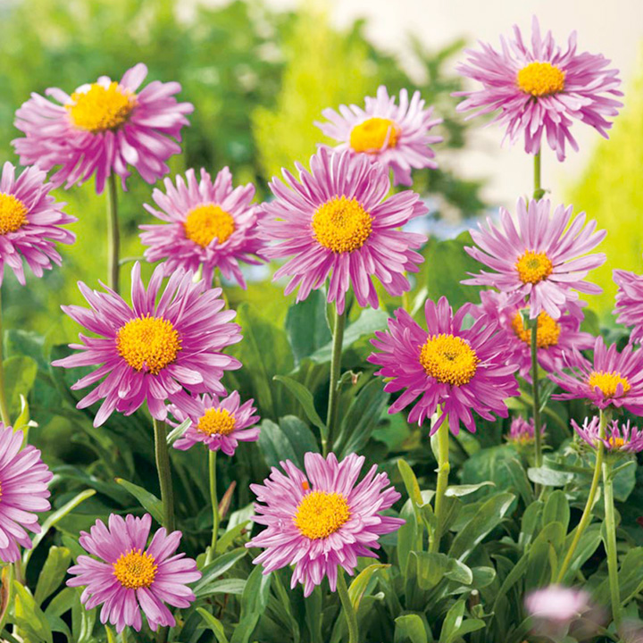 Aster alpinus Plant - Happy End Pink