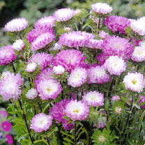 Excellent for mid-late summer colour, asters are invaluable for bedding and edging, and in arrangements. Sow March-May under glass for flowers July-Oc