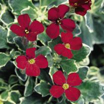 Aubrieta Plant - Swan Red
