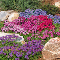 Aubrieta Plants - Mixed