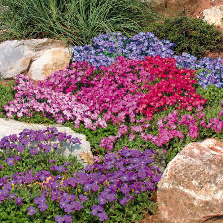 Aubrieta Plants - Mix