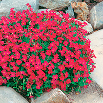 No spring garden should be without these spreading mats of vibrantly coloured blooms. Height 10cm (4); spread 45cm (18). Flowers April-June. Front of