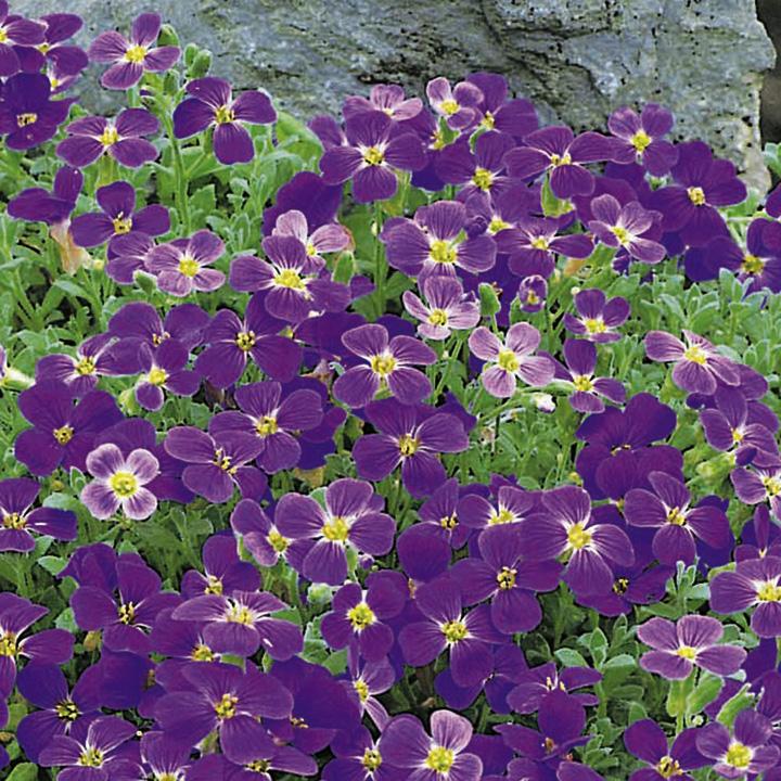 Aubrieta Plant - Cascade Purple