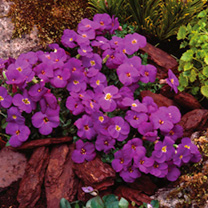 Aubretia Plant - Kitty Blue