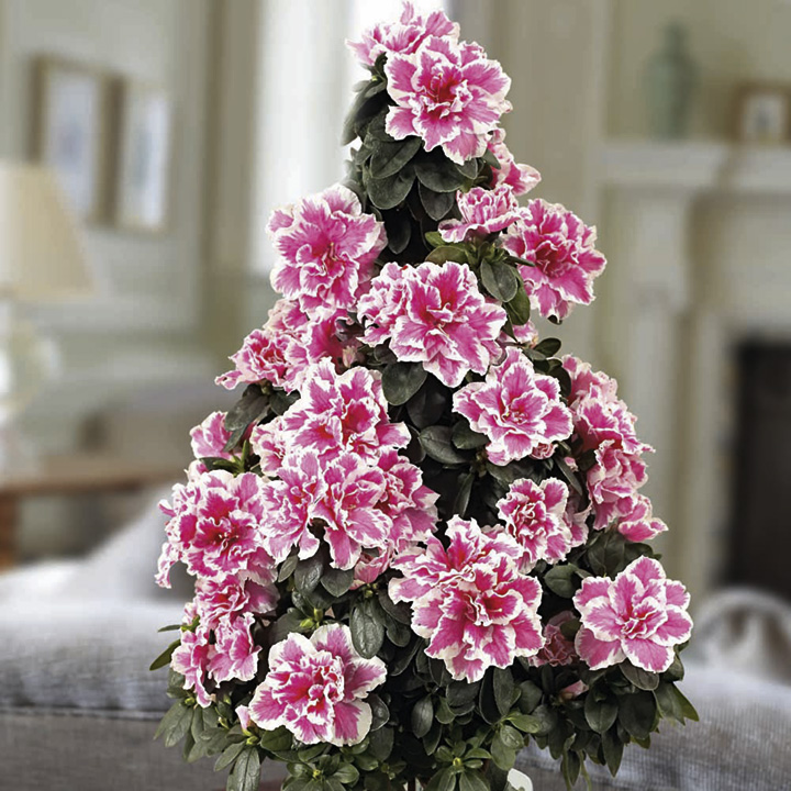 Azalea Indoor Tree